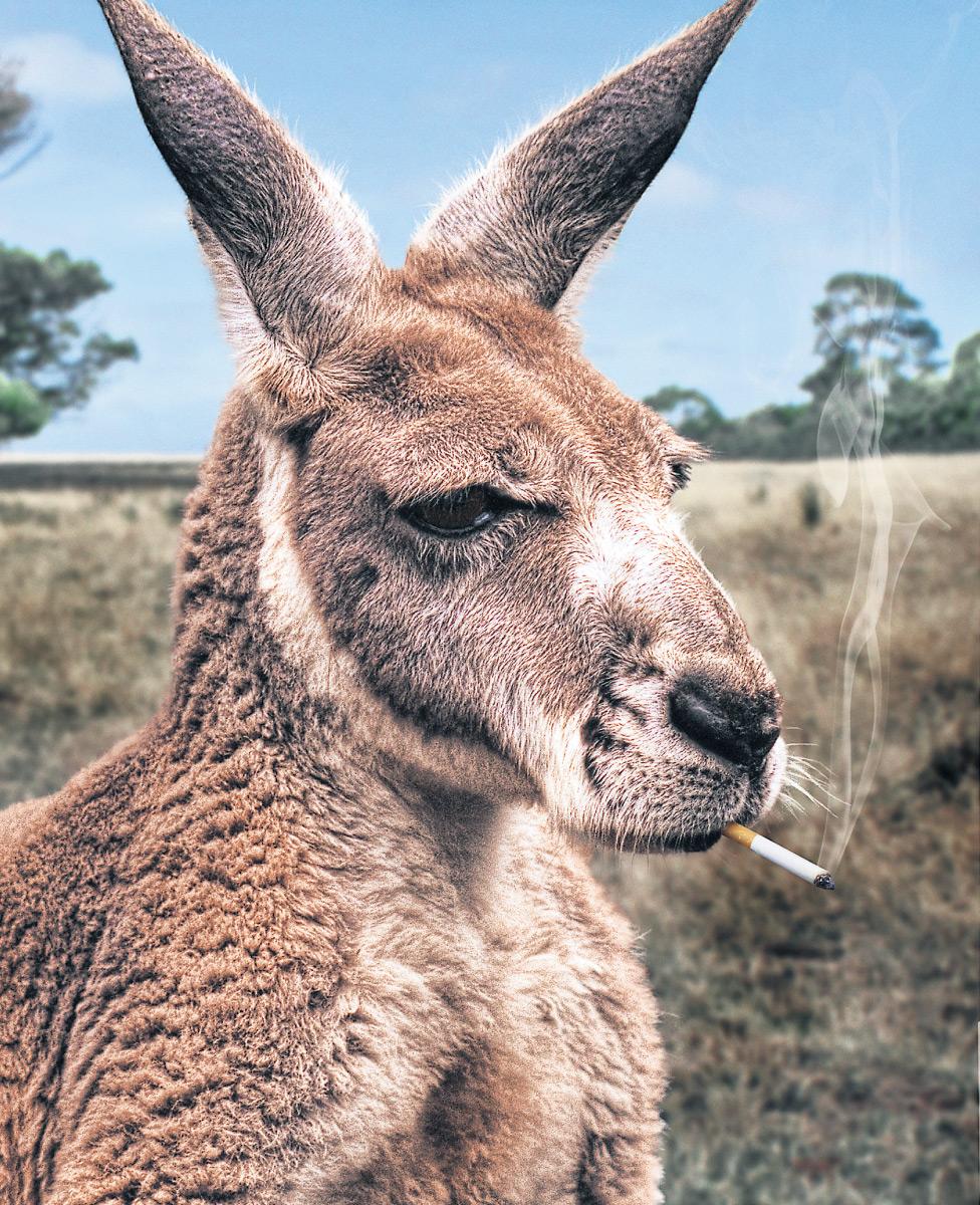 smoking-kangaroo