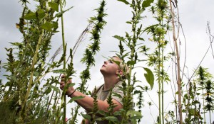 Western Kentucky University senior Corinn Sprigler helps harvest hemp plants at the WKU Farm in Bowling Green, Kentucky, in September 2014. Hemp potentially could be much more lucrative than tobacco if universities and farmers taking part in the Industrial Hemp Research Program, established by James Comer, Kentucky's commissioner of agriculture, continue to hone their skills cultivating the crop. BAC TO TRONG/DAILY NEWS/AP