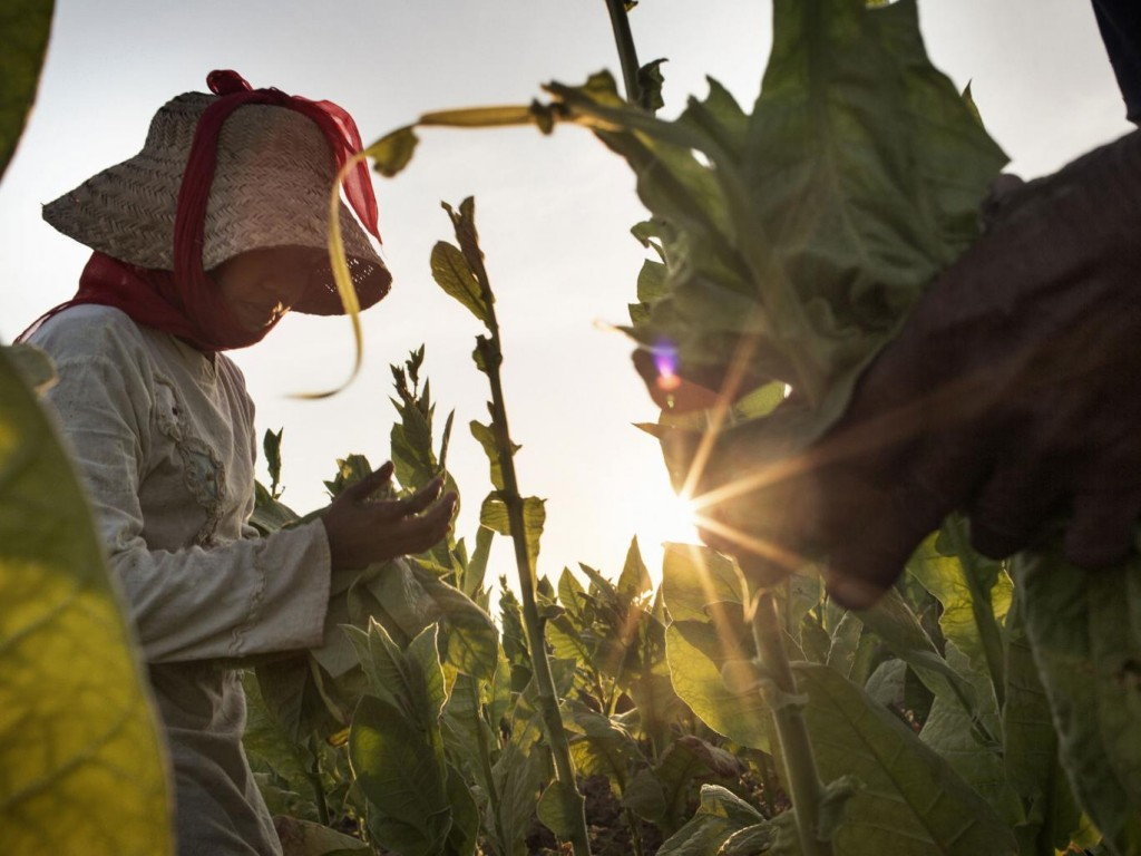Children reported working long hours in extreme heat and without wearing any type of protective equipment while handling tobacco Human Rights Watch